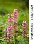 ������, ������: pink lupins lupinus polyphyllus flower