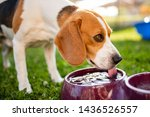 Small photo of Beagle dog drinking water to cool off in shade on grass hiding from summer sun . Summer background. Tired of summer heat.