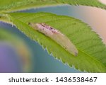 Hover Fly Larva On A Leaf. High ...
