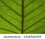 green leaf texture  background... | Shutterstock . vector #1436566454