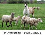Llama Stares At Lamb In Field