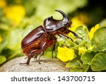 Rhinoceros Beetle   Arthropoda