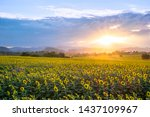 Beautiful Sunflowers Field With ...