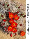 Hedgehog Cactus  Echinocereus...
