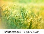 Wheat Field   Green Wheat