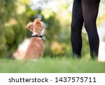 a cute red and white mixed...   Shutterstock . vector #1437575711