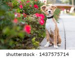 a cute red and white mixed...   Shutterstock . vector #1437575714