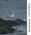 Stock photo european herring gull north sea england uk europe 1437593411