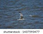 Stock photo european herring gull north sea england uk europe 1437593477