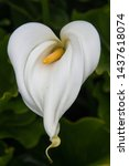 Small photo of Heart Shaped Cally Lily Bloom