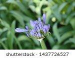 Agapanthus   A Blue Purple...