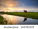 red cow on pasture by river at...