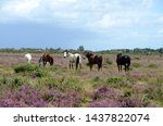 New Forest Ponies Walking...