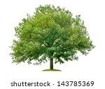 Isolated Oak Tree On A White...