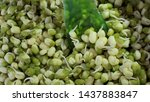 macro photo of sprouted mung... | Shutterstock . vector #1437883847