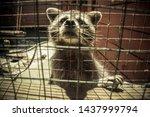 Raccoon In Captivity. Portrait...