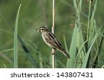 Small photo of Aquatic warbler, Acrocephalus paludicola, single bird on reed stem, Poland, May