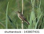 Aquatic Warbler  Acrocephalus...