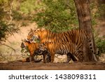 Small photo of Amazing tiger in the nature habitat. Tigers pose during the golden light time. Wildlife scene with danger animal. Hot summer in India. Dry area with beautiful indian tiger. Panthera tigris.