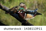 Colorful Wood Ducks On Wild...