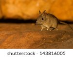 An Elephant Shrew Is Part Of...