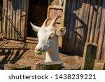 white milk goats in a pen near... | Shutterstock . vector #1438239221
