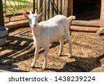 white milk goats in a pen near... | Shutterstock . vector #1438239224