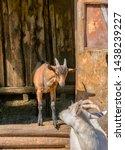 white milk goats in a pen near... | Shutterstock . vector #1438239227