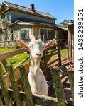 white milk goats in a pen near... | Shutterstock . vector #1438239251