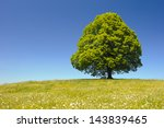 Single Big Linden Tree In...