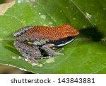 Small photo of Ecuadorian Poison Frog (Ameerega bilinguis) on a leaf in rainforest, Ecuador