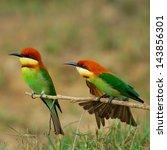 The Beautiful Birds Chestnut...