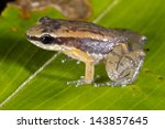 Small photo of Rocket Frog (Allobates insperatus) on a leaf, Ecuador