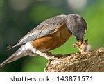 A Mother Robin Feeding Her Bab...
