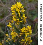 Blooming Golden Yellow Gorse...