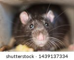Small photo of Close-up of a rat looks out of his refuge, symbol of 2020