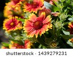 Scenic Flowering Gaillardia ...