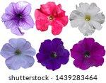 Multicolored Petunia Flowers O...