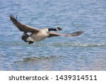 A Canada Goose Lifts Off From A ...