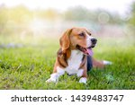 Stock photo an adorable beagle dog sitting in the grass field 1439483747