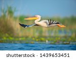 The Great White Pelican Flying...