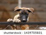 Stock photo cute puppy belgian shepherd malinois portrait of a puppy 1439705831