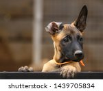 Stock photo cute puppy belgian shepherd malinois portrait of a puppy 1439705834