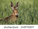 Stock photo brown hare lepus europaeus head shot of single mammal in grass midlands april 143970697