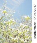 White Dogwood Tree Flowers...