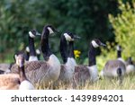 Flock Of Canadian Gooses On A...