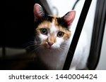 Biscuit  The Calico Cat  Had...