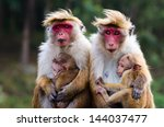 Stock photo monkey family with two babies red faces macaque macaca fuscata 144037477