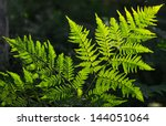 Fresh Green Fern Leaves In...