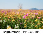Cosmos In Field With The...